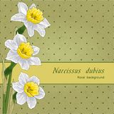 Narcissus Stock Photo