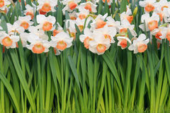 Narcissus Стоковые Фотографии RF