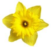 желтый цвет narcissus Стоковые Фото