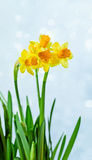 Narcissus Royalty Free Stock Image