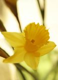 Narcissus. Close-up of backlit daffodil blossom on pale yellow background Royalty Free Stock Photo