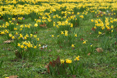 Narcissus. Spring with Narcissus cyclamineus in the garden Stock Photos