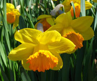 Narcissus. Yellow narcissus with orange center stock images