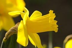 narcissus Стоковое Изображение RF