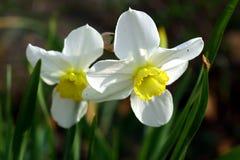 Narcissus. Stock Photos