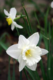 Narcissus. Spring flowers in my garden. Solar May day Royalty Free Stock Photos