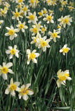 Narcissus. Field royalty free stock image