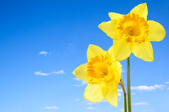 Narcissus Royalty Free Stock Photo