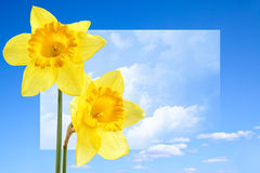 Narcissus. Close up against surreal sky with clouds royalty free stock image