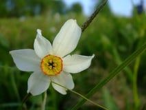narcissus стоковые фото