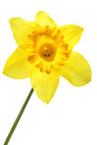 Narcissus. Single yellow narcissus isolated over the white background royalty free stock photos