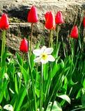 Narcissus Aflame, witte bloemblaadjegele narcis met een kleine sinaasappel tropet Royalty-vrije Stock Afbeelding