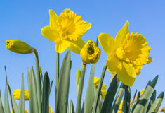 Narcissus against a blue sky. Narcissus in a field in the Netherlands Stock Photography