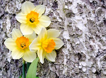 Narcissus against a tree Stock Images