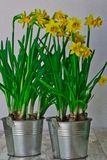 Narcissus in an aluminum bucket stock photos