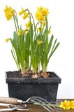 Narcissus ang gardening Stock Photography