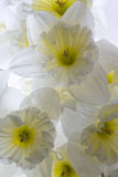 Narcissus background Stock Photos