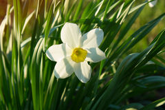 Narcissus on the background of green grass. White narcissus on the background of green grass. white spring flower on the background of green grass Royalty Free Stock Photos