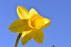 Narcissus on the background of sky Royalty Free Stock Images