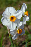 Narcissus Barrett Browning or daffodil. Is a white perennial flower with an orange center stock photos