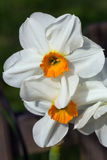 Narcissus Barrett Browning or daffodil. Is a white perennial flower with an orange center stock photo