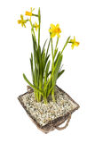 Narcissus in basket isolated on White Stock Photos