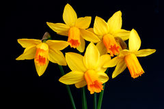 Free Narcissus Beauties Stock Image - 96241