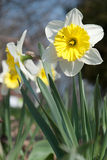 Narcissus. Beautiful fresh narcissus growing in a spring garden Stock Images