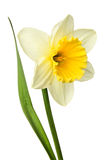 Narcissus. Beautiful single narcissus flower isolated on a white background royalty free stock image