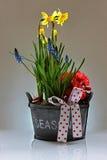 Narcissus, Begonia and Muscari armeniacum stock photos