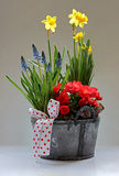 Narcissus, Begonia and Muscari armeniacum royalty free stock photography