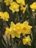 Narcissus in  Beijing Botanical Garden. In spring Stock Images