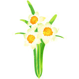 Narcissus - birth flower vector illustration in watercolor paint Royalty Free Stock Photos