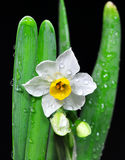 Narcissus on black. White narcisssus in bloom with green leaves against black background. Isolated. Close up Royalty Free Stock Photo