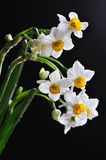 Narcissus on black. White narcisssus in bloom against black background. Isolated. Close up Royalty Free Stock Photo