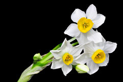 Narcissus on black. White narcisssus in bloom against black background. Isolated. Close up Stock Images