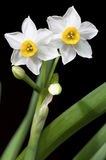 Narcissus on black. White narcisssus in bloom with green leaves against black background. Isolated. Close up Royalty Free Stock Images