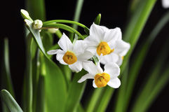 Narcissus on black. White narcisssus in bloom with green leaves  . Close up Royalty Free Stock Photography