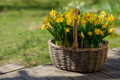 Narcissus bloom in basket on wooden terrace. Royalty Free Stock Image