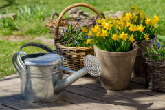 Narcissus bloom in flowerpot on wooden terrace next to galvanize. Narcissus bloom in flowerpot next to galvanized watering can on grey wooden deck. Horizontal Royalty Free Stock Photography