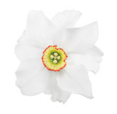 Narcissus bloom isolated on white Stock Photography