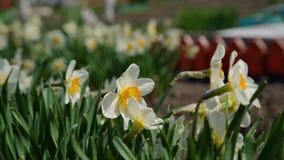 Narcissus Blooming im Frühjahr stock footage