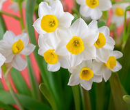 Narcissus blooming Royalty Free Stock Image