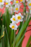 Narcissus blooming Royalty Free Stock Images