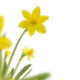 Narcissus Border Fotografering för Bildbyråer