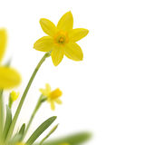 Narcissus Border Imagen de archivo