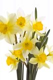 Narcissus Bouquet Stock Images