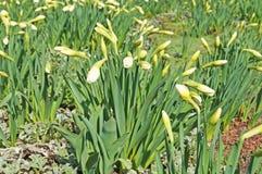 Narcissus Buds branco com folhas verdes imagem de stock royalty free