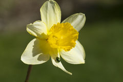 Narcissus and bug Royalty Free Stock Photo