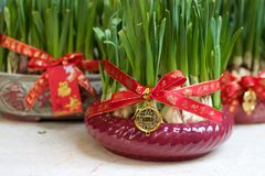 Narcissus bulbs forced, decorated in planters for Chinese New Year Royalty Free Stock Photography